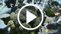 Brócoli – Prácticas culturales