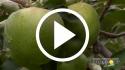 Manzana – Prácticas culturales