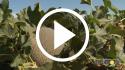 Melón Cantaloup – Prácticas culturales