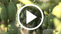 Papaya – Prácticas culturales