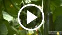 Pepino Europeo – Prácticas culturales